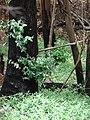 Starr-070908-9262-Eucalyptus globulus-rebounding after fire and carpets of seedlings-Polipoli-Maui (24597427530).jpg