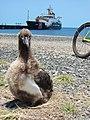 Starr-080531-4761-Sporobolus pyramidatus-habit with Laysan albatross chick and Coast Guard ship Walnut-Cargo Pier Sand Island-Midway Atoll (24884405496).jpg