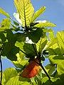Starr-080608-7639-Terminalia catappa-leaves-West Beach Sand Island-Midway Atoll (24289862683).jpg
