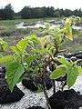 Starr-080609-8052-Solanum americanum-habit-Radar hill field Sand Island-Midway Atoll (24291474203).jpg