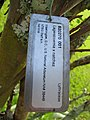 Starr-091104-0813-Lagerstroemia sp-cv Natchez plant tag-Kahanu Gardens NTBG Kaeleku Hana-Maui (24894339381).jpg