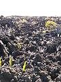 Starr-100714-3282-Pellaea ternifolia-drought stricken-Halemauu Trail Haleakala National Park-Maui (24747996590).jpg