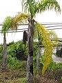 Starr-110307-2966-Syagrus romanzoffiana-habit-Kula Botanical Garden-Maui (24960948582).jpg
