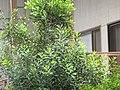 Starr-120319-3969-Macadamia integrifolia-some leaves smooth different looking-Upper Kimo Kula-Maui (25138085485).jpg
