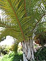 Starr-120522-6380-Raphia farinifera-habit-Iao Tropical Gardens of Maui-Maui (24847924610).jpg