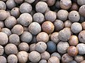 Starr-130214-1525-Macadamia integrifolia-lots of nuts-Waihee-Maui (24837981189).jpg