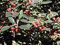 Starr 010119-0114 Cotoneaster pannosus.jpg