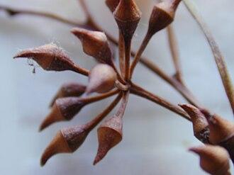 Eucalyptus camaldulensis - Flower buds