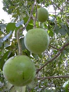 Baya roja considerada fruto del bosque codycross
