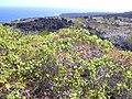 Starr 030716-0155 Passiflora foetida.jpg