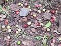 Starr 030807-0160 Syzygium malaccense.jpg