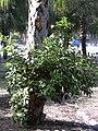 Starr 031108-0088 Ficus microcarpa.jpg