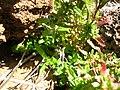 Starr 051202-5614 Lythrum maritimum.jpg
