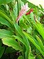 Starr 060922-9061 Alpinia purpurata.jpg