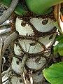 Starr 070123-3642 Philodendron bipinnatifidum.jpg