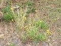 Starr 070308-5311 Coreopsis lanceolata.jpg