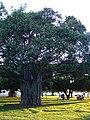 Starr 070727-7641 Ficus benghalensis.jpg