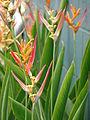 Starr 070730-7749 Heliconia psittacorum.jpg
