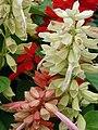 Starr 070906-8646 Salvia splendens.jpg
