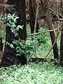 Starr 070908-9262 Eucalyptus globulus.jpg