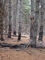 Starr 070908-9358 Pinus sp..jpg