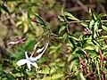 Starr 080219-2954 Jasminum polyanthum.jpg