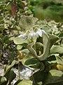 Starr 080605-6694 Solanum nelsonii.jpg