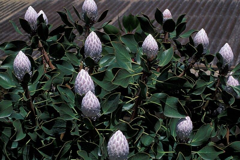 File:Starr 980528-4148 Protea cynaroides.jpg