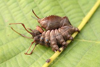 Notodontidae - Stauropus fagi larva