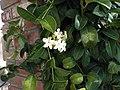 Stephanotis floribunda3L. Marie.jpg