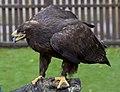 Steppe Eagle 2 (5086549225).jpg