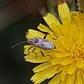 Stictopleurus abutilon-20160708.jpg