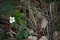 Strawberry flower in forest.jpg
