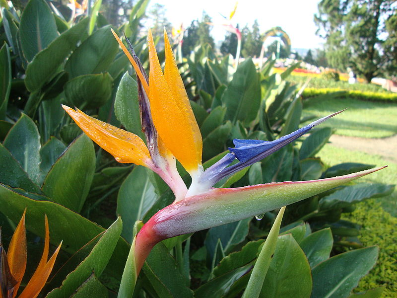Strelitzia reginae, the bird of paradise plant. Flower and leaves.