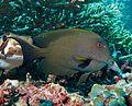 Striated Surgeonfish (Ctenochaetus striatus).jpg