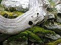 Stricken tree trunk^ - geograph.org.uk - 750628.jpg