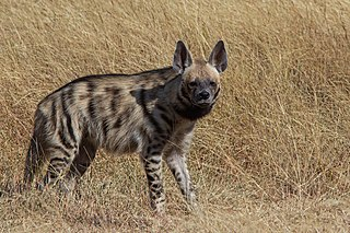 Striped hyena Species of hyena