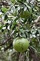 Strychnos spinosa (Loganiaceae) (48510710026).jpg