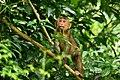 Stump-tailed Macaque, Macaca arctoides in Kaeng Krachan np (23513555855).jpg