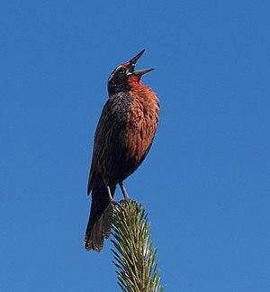 Long-tailed meadowlark - Sturnella Loyca in El Chalten, Argentina