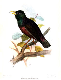 Common starling - Wikipedia
