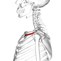 muscle subclavier � wikip233dia