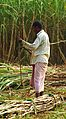 Sugar Cane Production in Bangladesh 1.JPG