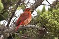 Summer Tanager, Piranga rubra.jpg