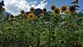 Sun Flowers.jpg