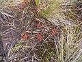 Sundew - Gabhla Townland - geograph.org.uk - 836940.jpg