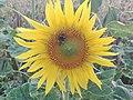 Sunflower Dortmund 7.jpg