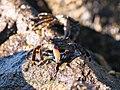 Sunning Crabs (220085585).jpeg