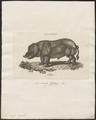 Sus scrofa domestica - 1700-1880 - Print - Iconographia Zoologica - Special Collections University of Amsterdam - UBA01 IZ21900123.tif