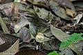 Swainson's Warbler Hooks Wood High Island TX 2018-04-11 09-55-34-3 (41767200172).jpg